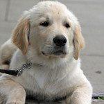 אילוף כלבים – צעדים ראשונים