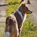 אילוף רועה אוסטרלי