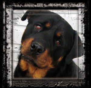 כלבי רוטווילר