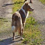 רועה אוסטרלי מתבונן בטבע