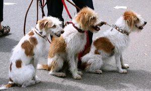 דוגווקר מוליך קבוצת כלבים