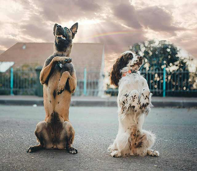 כלבים-מאולפים-פעלול