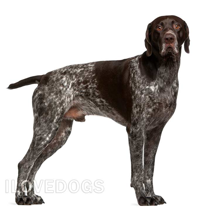 כלב פוינטר גרמני