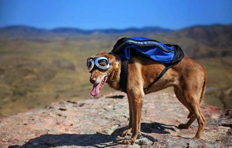 כלבי פוינטר