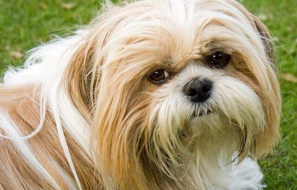 כלבי שיצו – חינוך גורי שיצו למשמעת