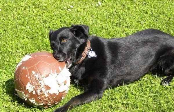 חינוך כלבים למניעת כרסום חפצים