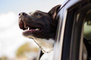 אילוף כלבים לנסיעה במכונית