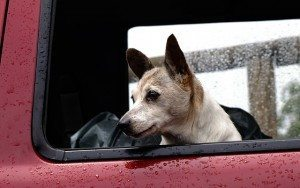 כלב נוסע במכונית