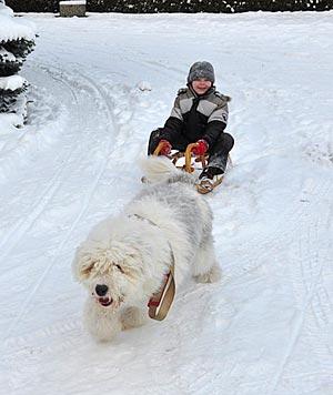 כלב מסיע ילד במזחלת