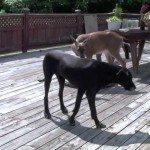 וגר זאב עם כבש : גרסת הכלב והצבי