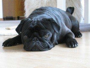 כלב משועמם