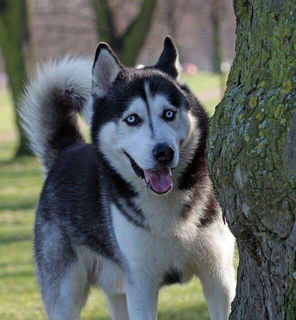 מדהים אילוף האסקי סיבירי - מידע על הגזע וטיפים מעולים לאילוף - ilovedogs YB-02