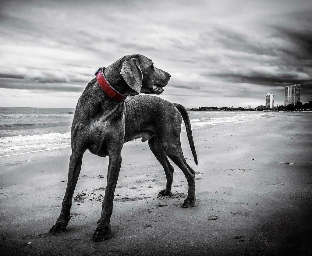 כלבי וימרנר - כלבי ציד מרהיבים