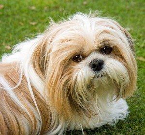 כלבי שיצו - שיצו שי טסו