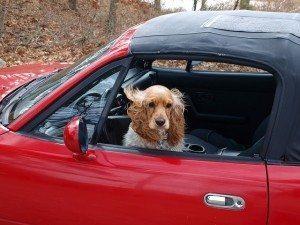 כלבים דומים לנו, לא למכוניות