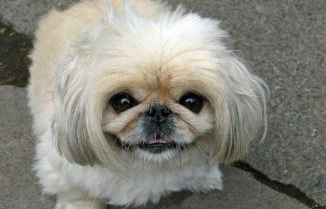 אילוף כלבי פקינז