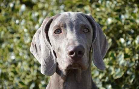 גורי וימרנר – אילוף כלבי ויימרנר